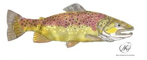 Brown Trout (Salmo trutta)