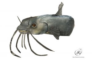 Catfish (Bagrus docmak)
