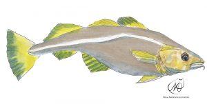 Atlantic Cod (Gadhus Morhua)