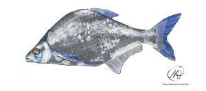 Freshwater Bream (Abramis brama)